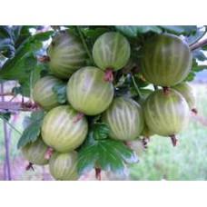 Stromek odrůda DAREK