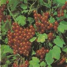 Keř odrůda JONKHEER V. T.