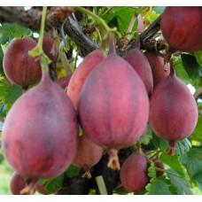 Stromek odrůda KARÁT ®
