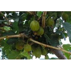 Stromek odrůda RIXANTA