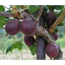 Stromek odrůda TAMARA